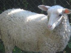 Békinka naše první ovečka :)