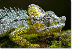 chameleon camouflaged in gold and silver.