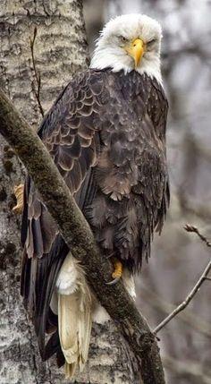 Bald eagle                                                                                                                                                                                 Mais