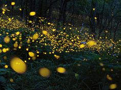 River of Light | Glowing Fireflies Image, Japan - National Geographic Photo of the Day