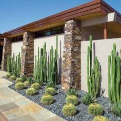 """Simplicity in Design. Vertical-growing San Pedro cacti (Cereus peruvianus) form the backdrop of the composition, with Agave 'Blue Glows' offering complementary color. """"The contrasting form reflects the same rhythm as the San Pedros,"""" notes Winters. The golden barrels add drama and draw the eye to the foreground."""