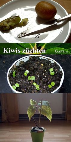 Breeding kiwifruit yourself from kiwi seeds Gardening Instructions Herb Garden Design, Vegetable Garden Design, Garden Pots, Diy Garden, Fruit Garden, Growing Fruit Trees, Growing Plants, Garden Care, Organic Gardening