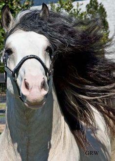 Taskin, 2003 imported Gypsy Vanner Horse stallion