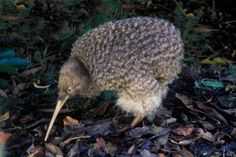 The kiwi is an endangered, flightless bird and is indigenous to New Zealand. There are a few traits that make this little fella quite an oddball. It gets about as big as a chicken and has tiny wings that don't allow the bird to fly. However, the kiwi has a very good sense of smell and can run very fast. Its feathers are almost hair-like and it lays eggs that are up to half of its own body weight. The kiwi is also a national symbol of New Zealand.