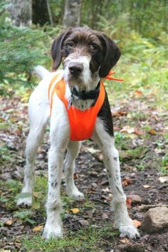 ... on Pinterest | German wirehaired pointer, Hunting dogs and Pointers