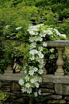 ~Chicago Botanic Garden--I love how this white clematis cascades over the baluster. Atlanta Botanical Garden, Chicago Botanic Garden, Desert Botanical Garden, Botanical Gardens Wedding, Beautiful Gardens, Beautiful Flowers, White Clematis, Garden Cottage, White Gardens