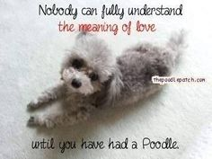 Learn all you need to know about Poodle temperament. Detailed information on personality characteristics and traits of the Poodle breed. Mini Poodles, Toy Poodles, Standard Poodles, Cute Puppies, Cute Dogs, Poodle Cuts, Tea Cup Poodle, Meaning Of Love, Dog Hacks