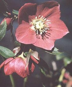 Harvington Hellebores - Hugh Nunn - Nurseryman