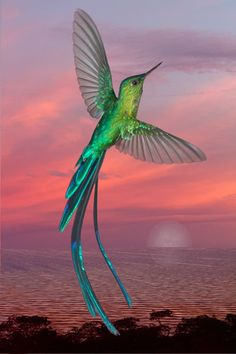 long-tailed sylph  (photo by focusfrog) #pink #sunset #flight #bird
