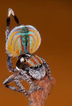 peacock spider (Maratus volans)