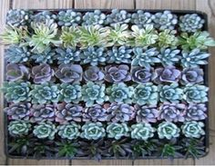 Large succulents | new item
