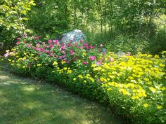 Old Fashion Roses and Sundrops