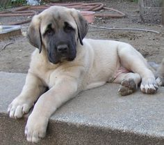 "Turkish Kangal Puppy  While the Kangal is often referred to as a sheep dog, it is not a herding dog, but rather a flock guardian that lives with the flock of sheep to actively fend off wolves, bears and jackals. The Kangal's protectiveness, loyalty and gentleness with small children and animals has led to its growing popularity as a guardian for families as well, as it regards people as its ""flock"" and guards them with extreme devotion."