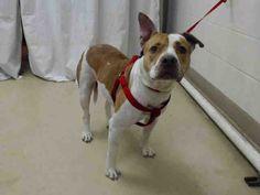 American Pit Bull Terrier dog for Adoption in Houston, TX. ADN-473600 on PuppyFinder.com Gender: Male. Age: Adult