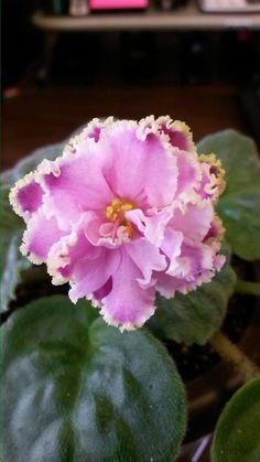 Winter Smiles african violet