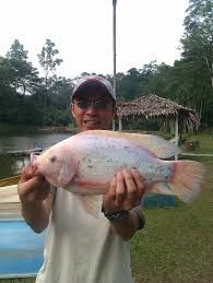 Image result for Taiwanese red tilapia Tilapia, Aquaponics, Fresh Water, Filter, Fish, Red, Image, Pisces