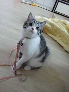 목줄한 고양이