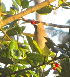 Cedar Waxwing with Holly Berry - The Nature In Us: The Nature In Us Newsletter - 11/15/15