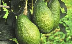 One of the most referenced benefits of avocado is their amounts of healthy monounsaturated fat. It's interesting that this is a high-fat fruit, as most of them are very low fat or fat free. These fats actually help you to LOSE FAT, if that's what you're t Healthy Foods To Eat, Healthy Eating, Healthy Recipes, Healthiest Foods, Healthy Brain, Healthy Fats, Clean Eating, Clean Foods, Healthy Heart