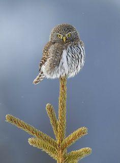 Northern Pygmy Owl, Donald M. Jones