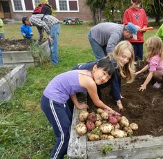 Students harvest potatoes at one of the locations on the Green School Grounds Tour.