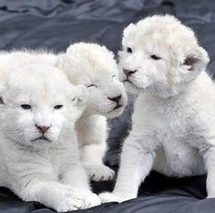 Rare White Lion Cubs | Rare White Lion Cubs