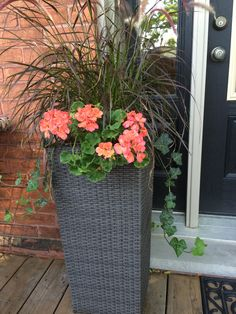 Purple Fountain Grass, English Ivy and Coral Geraniums