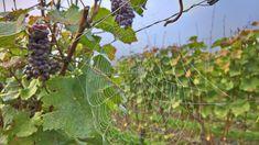 Ahr - Präsentation des deutschen Weinanbaugebiet (2013) - bekannt ist es besonders für seine Rotweine Eifel, Fruit, Blog, Paradise, Red Wines, Landscape, Blogging