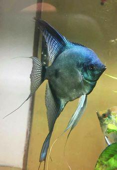 Home Aquarium, Aquarium Ideas, Freshwater Aquarium Fish, Angel Fish, Ocean Creatures, Tropical Fish, Ocean Life, Goldfish, Fresh Water