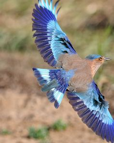 #Bird #Photo of the day: The Indian Roller