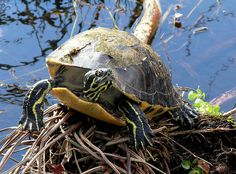 Red Bellied Turtle, Everglades National Park, Florida (pinned by haw-creek.com)