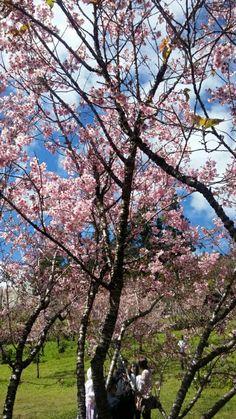 Festa da cerejeira  em flor Campos do Jordão.
