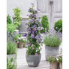 Top Tip To grow clematis in pots, it's best to use a large container about in diameter – with the same depth for good root growth. Make sure a suitable support is in place, such as an obelisk, small trellis or climbing frame. Outdoor Pots, Outdoor Gardens, Tropical Landscaping, Backyard Landscaping, Container Plants, Container Gardening, Clematis Florida, Obelisk Trellis, Clematis Trellis