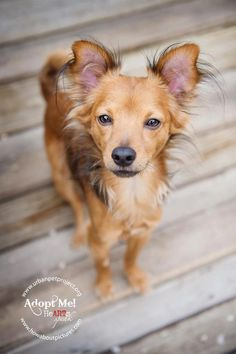 """Quoting HeARTs Speak member, Hannah Michalski of How About Pictures ...    """"Handsome much?""""    This gorgeous little dog is available NOW folks! www.urbanpetproject.org"""