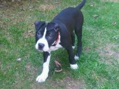 Cookie is an adoptable American Staffordshire Terrier Dog in Hammonds Plains, NS. Cookie is 3 month old Amstaff mix. Good with kids, cats and dogs. She is a great little pup looking for her forever ho...