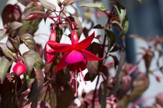 Red Riding Hood Flower - null
