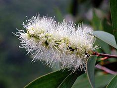 MYRTACEAE 桃金孃科 - Paper-bark Tree in flower (Melaleuca quin… | Flickr - Photo Sharing!