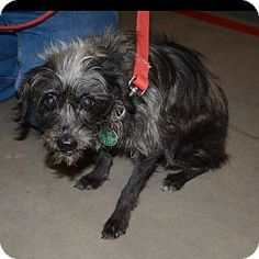 Hopkinsville, KY - Terrier (Unknown Type, Small) Mix. Meet Dyson a Dog for Adoption.