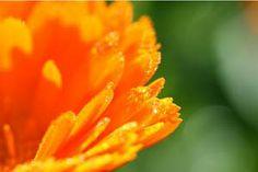 Remedios caseros para las aftas bucales con caléndula - Trucos de salud caseros
