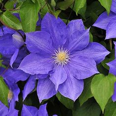 H. F. Young Clematis, planted with Henryi & The President.