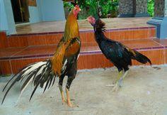Ayam Juara: Ciri Anak Ayam Bangkok Asli