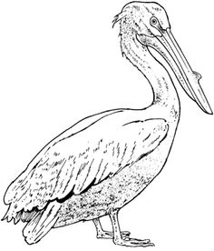 Click to see printable version of Realistic Pelican coloring page