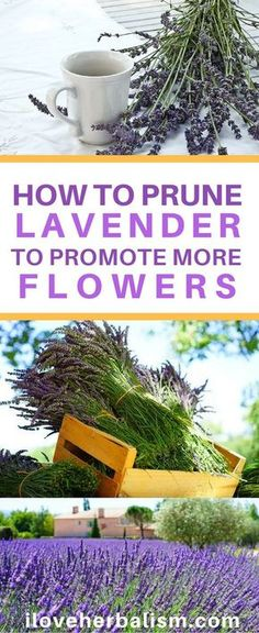 Flower Garden HOW TO prune Lavender to promote more flowers - A Guide To Prune Lavender To Make It More Bushy. Today I found this simple video which demonstrates how to prune a lavender plant to promote more flowers. Growing Lavender, Planting Flowers, Herbs, Plants, Lavender Plant, Herb Garden, Container Gardening, Garden Landscaping, Gardening Tips