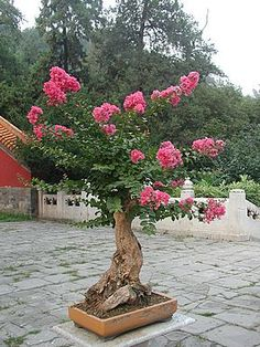 The search of the terms bonsai has generated 18 results in the photo collection. Description:The tree of bonsai featuring azalea pink flower. Bougainvillea Bonsai, Bonsai Plants, Bonsai Garden, Bonsai Trees, House Plants Decor, Plant Decor, In China, Bonsai Azalea, Garden Projects