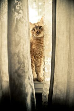 Between the curtains #cats