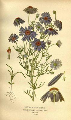 119820 Brachycome iberidifolia Cass. / Step, E., Bois, D., Favourite flowers of garden and greenhouse, vol. 2: t. 128  (1896-1897) [D.G.J.M. Bois]