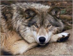 Los lobos son los mas leales