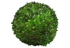 """16"""" Boxwood Topiary Ball, Preserved"""
