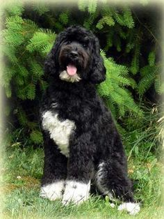 This is a great example of an adult parti Cobberdog cut. Squared legs, trimmed body ears left long, muzzle and top of the head trimmed. Folks, just because this dog is black and white, does not mean that he is Obama's dog. That dog - the Portuguese Water Dog - has blindness as a genetic weakness.