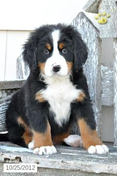 Cocoa - Bernese Mountain Dog Puppy